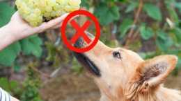 夏季常見的水果葡萄,不要給狗吃