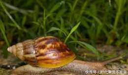 非洲大蝸牛多可怕物種入侵的另類,水泥都能吃,國人也無可奈何