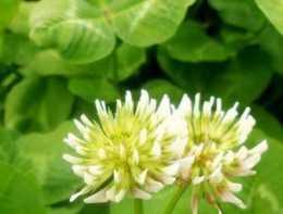 白三葉種子價格多少錢一斤?如何種植?有哪些功效及作用?