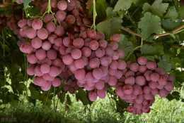 狗可以吃葡萄和葡萄乾嗎?