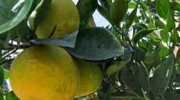 柚子樹掛了一年的過後,再沒結過果是怎麼回事,絕對是沒有管理好