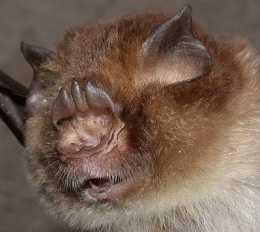 蝙蝠到底瞎不瞎,色覺基因研究揭示了真相