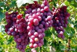 葡萄樹是如何嫁接的?