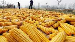 玉米價格近期趨於平靜, 種植戶期盼它漲價, 會不會如農民所願?