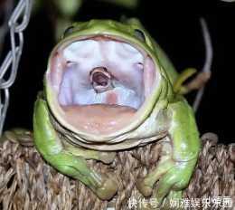 """""""原來青蛙的舌頭是這樣的啊,太獨特了,真實版你見過嗎?""""哈哈哈哈太滑稽了"""