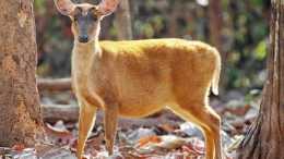 小科普   快來認識這6種奇異的小鹿